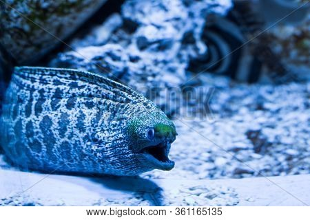 Scary Spotted Moray Eel Fish In Water Extended Its Head, Oceanic Deep-sea Fish