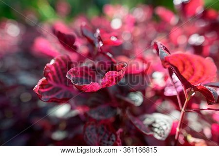 Leaves Of Ajuga Plant With Red And Burgundy Color