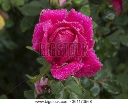 A Single Knockout Rose Glistens In The Early Morning Light After An Overnight Rain.