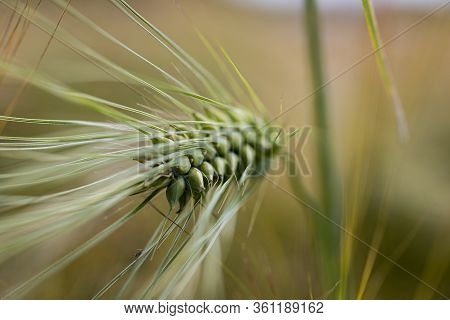 Closeup, Macro Photo Of Barley Spike In The Field, Blurred Bokeh Background.