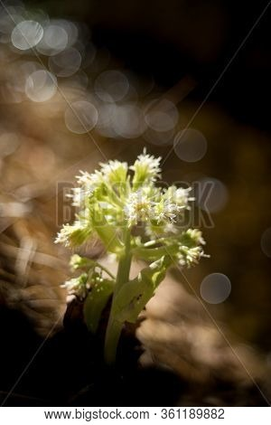 Common Butterbur (petasites Albus) Is A Strong-smelling Plant Of The Asteraceae Family.