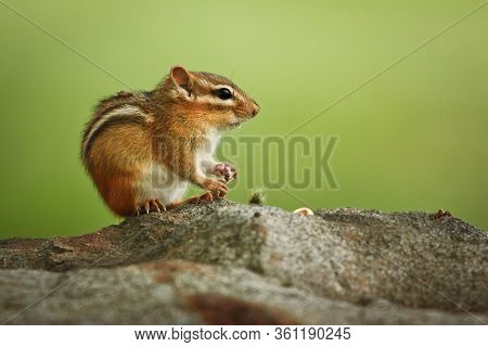 Fearless Chipmunk Sitting On Stone, Cute Little Chipmunk Sitting On A Rock With Green Background, Ma