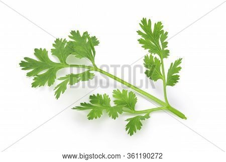 Top View ( Flat Lay ) Isolated Of  Fresh Coriander Leaves On White Background. Clipping Path Photo.