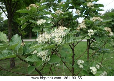 Blossoming Sorbus Aria Tree In Mid May