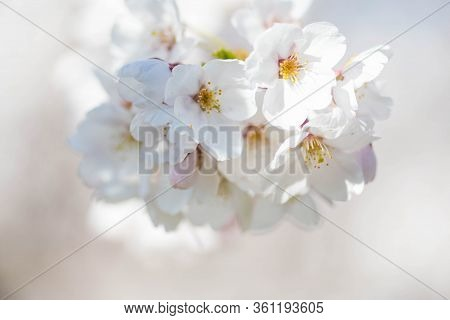 Sakura. Bloom, Flowering, From Bud To Flower. First Blossom Buds And Flowers In The Spring. The Comi
