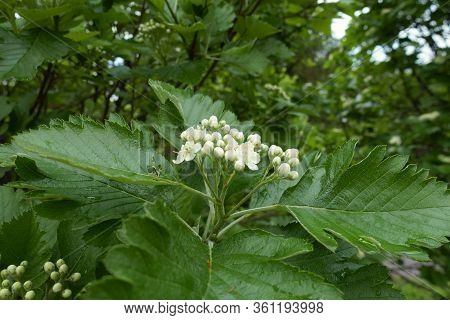 Buds And Flowers Of Sorbus Aria In May