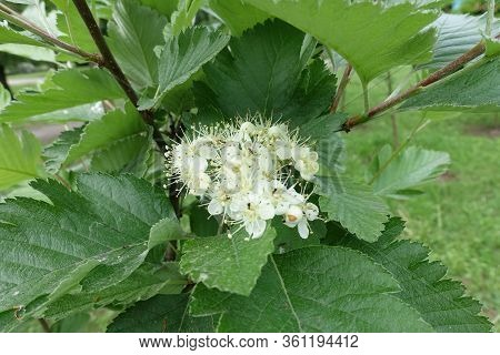 Close Shot Of Corymb Of White Flowers Of Sorbus Aria In Mid May