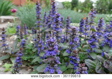 Closeup Of Purple Flowers Of Ajuga Reptans In May