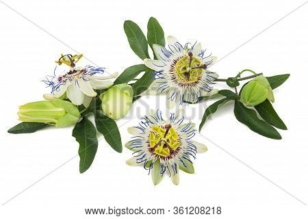Passion Flowers (passiflora) Branch Isolated On White Background.