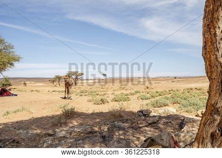 Dromedary Camel In The Oasis On Sahara Desert In Morocco, Africa