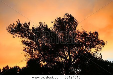 Olive Tree Silhouette At Sunset