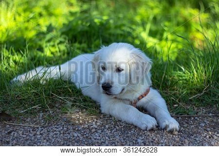 Puppy Of Golden Retriever. Portrait Of A Cute Golden Retriever Puppy In A Garden. Dog Outdoors. A Pu