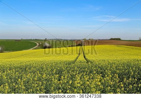 Raps Field. Cultivated Colorful Raps Field In Germany.