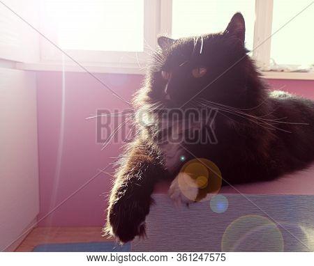 Muzzle Of Cat. Close-up. Muzzle Of Black Cat. Lazy Pet. Domestic Animal