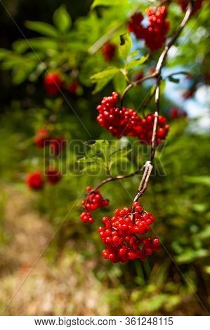 Fresh Red Rowan On A Branch Among Green Leaves. Sorbus Aucuparia, Commonly Called Rowan And Mountain