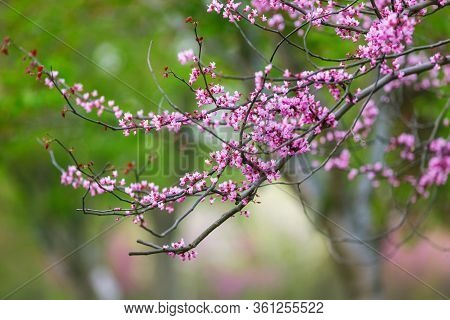 Purple Flowers Of Cercis Canadensis On The Branches Close-up. Delicate Floral Background. Pink Flowe