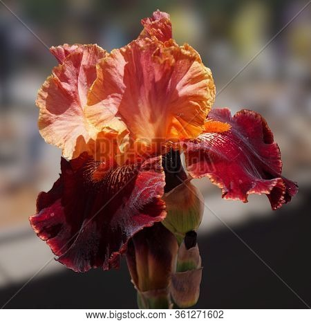 The Deep Burgundy Falls Of This Beautiful Iris Is Dramatically Set Off By Its Bright Orange Beards,