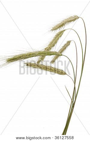 Rye (Secale cereale)