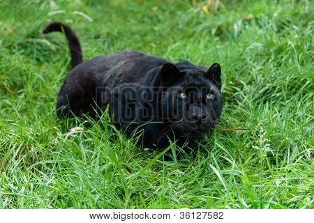 Black Leopard Ready To Pounce In Long Grass
