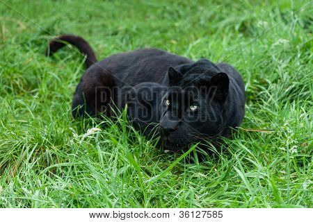 Black Leopard Stalking In Long Grass