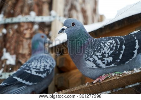 Rock Pigeon In A Snowy Forest, Perching On A Birdhouse, Close-up