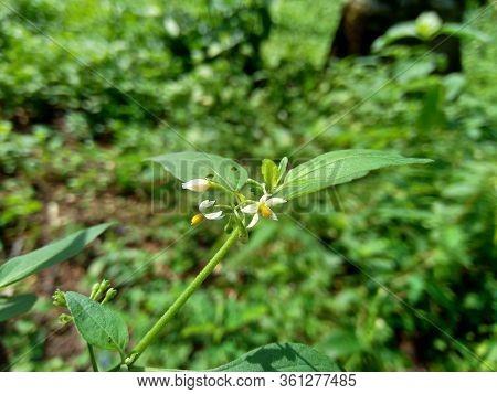 Solanum Nigrum (black Night Shade, Ranti, Lenca, Blackberry Nightshade, European Black Night Shade)