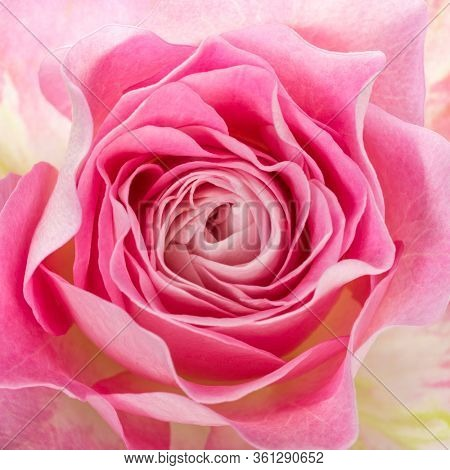 Closeup of delicate pink rose blossom