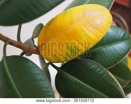Yellow Wilted Leaf On Green Rubber Ficus Plant Ficus Elastica, Assam Rubber, Indian Rubber Tree , Ho