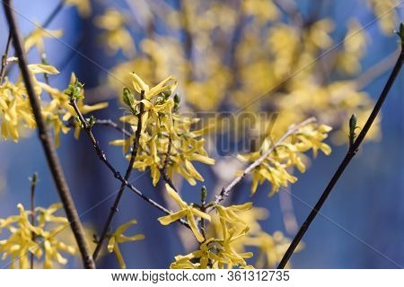 Yellow Flowers Blossom Nature Background. Nature Background Of Spring Flowers. Yellow Flowers Nature