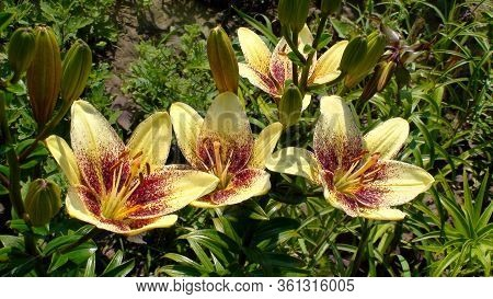 Group Of Beautiful Light Yellow With Dark Red Specks Flowers Of Asiatic Lilies Cultivar Latvia On Gr