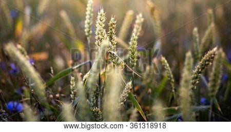 Silhouette Of A Barley Field In Sunsetbeautiful Barley Field In Sunset Or Sunrise. Grain Under Blue