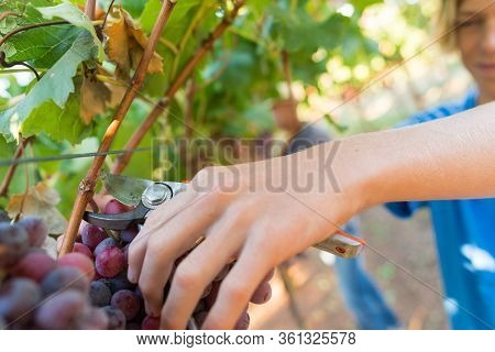 Close-up Male Hands Picking Bunch Of Red Grapes With Garden Pruner. Seasonal Harvesting In Countrysi