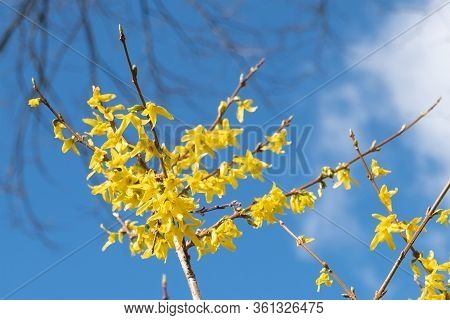 Spring Floral Broom Cytisus 'luna' Plant, Beautiful Fresh Yellow Flowers, Isolated On Blue Sky Backg