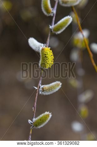 Pussy Willow Branches With Catkins On Blurred  Natural Background,  Macro Photo. Flowering Pussy-wil