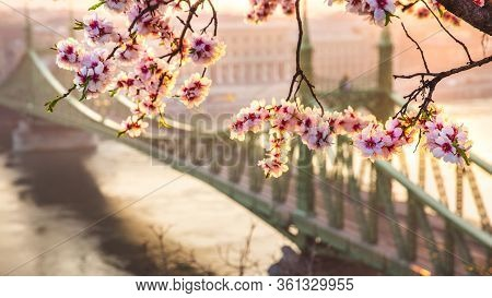 Beautiful Liberty Bridge At Sunrise With Cherry Blossom In Budapest, Hungary. Spring Has Arrived To