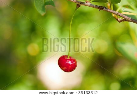 Ripe Fresh Cherry On Branch