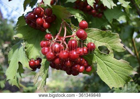Red Juicy Viburnum Berries On Brunch. Red Viburnum Berries On A Branch In The Garden. Viburnum Berri
