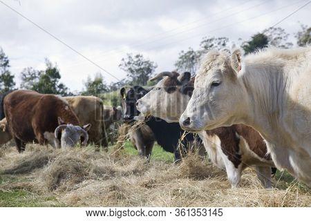 Healthy Cows On A Farm Feeding, On A Rural Property In Tasmania.