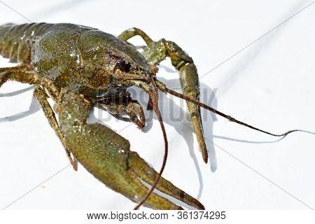 Live Cancer With Green Claws On A White Background, Fragment, Isolate, Arthropod