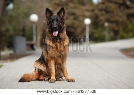 German Shepherd Beautiful Portrait. The Concept Of Veterinary Medicine, Goods For Dogs, Dog Training