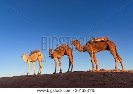 Dromedary Caravan In Erg Chigaga At Sunrise. Erg Chigaga Is Of Two Major Saharan Ergs Of Morocco And