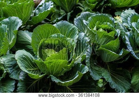 Organic Frresh Traditional Cabbage Close Up
