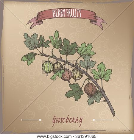 Gooseberry Aka Ribes Uva-crispa Branch Color Sketch On Vintage Background. Berry Fruits Series.