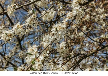 Blooming Spring Tree. Spring Floral Background. White Blossom. Blossoming Apple Tree With Green Leav