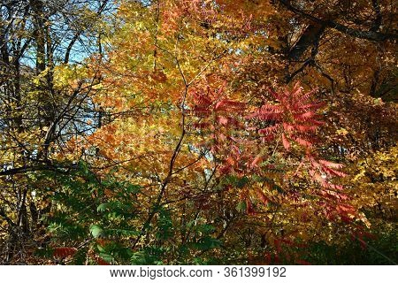 Displaying A Variety Of Partly Shaded Autumn Foliage Colors, In An Upland Forest Environment.