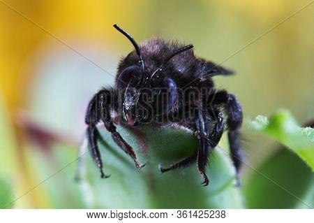 Pollinator, Big Violet Carpenter Bee, Xylocopa Violacea