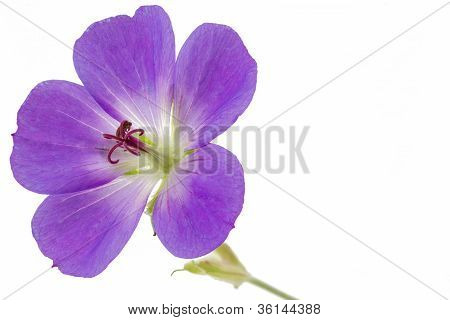 Purple Cranesbill flower
