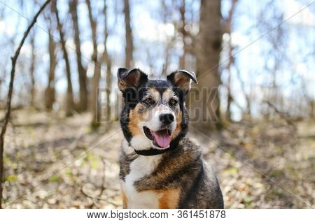 A Beautiful Old, German Shepherd - Border Collie Mix Breed Dog Is Sitting Outside In The Deciduous F