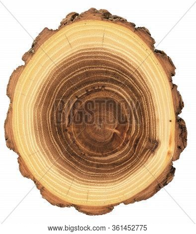 Unusual Shape Wood Slab. Young Acacia Tree Cross Section Showing Growth Rings And Bark Isolated On W