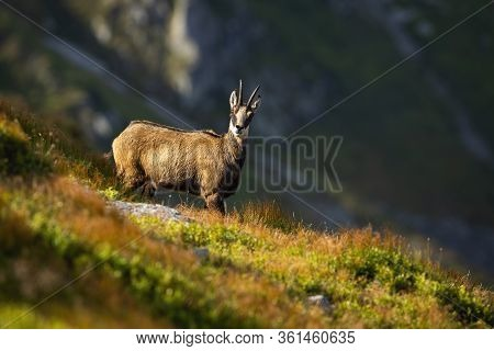 Alert Tatra Chamois Looking Into Camera On A Hillside In Summer Mountains